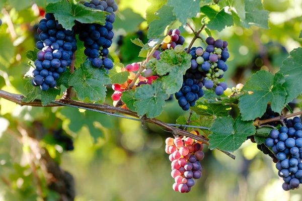 verything You Need to Know About Pinot Noir