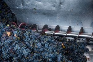 crushing the grapes
